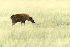 African Hyena. In a shroud in their natural habitat Stock Photography