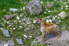 African Hyena Solitaire Royalty Free Stock Photos