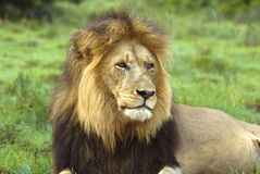 African Icon Lion Royalty Free Stock Photo