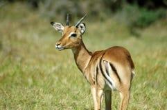 african impala obrazy stock