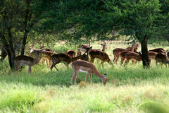 African Impala Royalty Free Stock Photos
