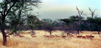 Impala Herd, Zimbabwe Africa. A herd of impala on the Malilangwe Reserve, near Nduna Lodge, Zimbabwe, Africa royalty free stock photo