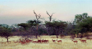 Impala Herd Zimbabwe Africa. Impala on the Malilangwe Reserve, near Nduna Lodge, Zimbabwe, Africa stock image