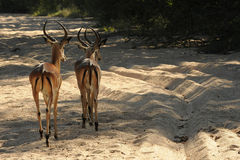 African Impala Royalty Free Stock Images