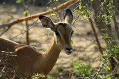 African impala closeup in the savanna. South africa Royalty Free Stock Photo