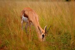African Impala deer Stock Images