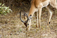 AFRICAN IMPALA EATING Stock Photos