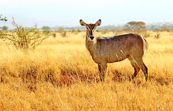 African Impala. In its natural environment Stock Photos