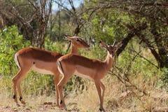 African Impala Stock Photo