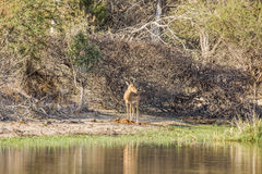 African impala in the riverbank,  in Kruger park Royalty Free Stock Images