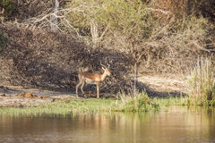 African impala in the riverbank,  in Kruger park. Wild male impala in the riverbank in Panic Hide, Kruger National Park, South Africa Stock Photo