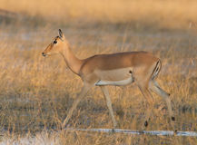 African impala at sunset Stock Photos