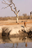 African impala at water hole. This picture of an African impala at water hole was taken during dry season in Botswana, Southern Africa Royalty Free Stock Photography