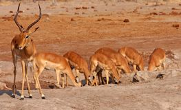 African Impalas  Royalty Free Stock Photo