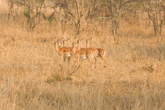 African impalas Royalty Free Stock Image