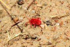 African Insects of Color - Red Velvet Tick Royalty Free Stock Photo