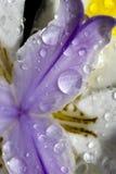 African Iris Royalty Free Stock Image