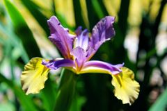 African Iris, Butterfly Iris stock photos