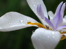 African Iris, Dietes iridioides Royalty Free Stock Image
