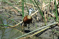 African jacana Stock Photos