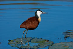 African Jacana. Standing on waterlily Royalty Free Stock Image