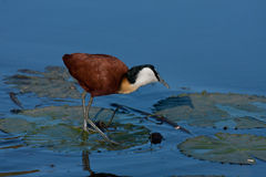 African Jacana. Standing on waterlily Royalty Free Stock Photo