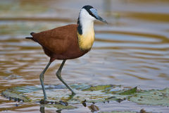 African Jacana. Standing on the leave of a water plant Royalty Free Stock Photography
