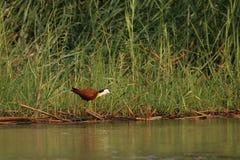 African Jacana stock photo