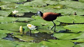 African Jacana Stock Photography