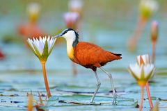 African jacana, Actophilornis africana, colorful african wader with long toes next to violet water lily in shallow water of season royalty free stock photo