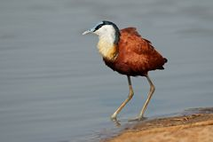 African Jacana Royalty Free Stock Photos