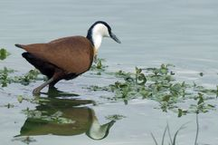 African Jacana (Actophilornis africanus) Royalty Free Stock Images