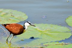 African Jacana (Actophilornis africanus) Royalty Free Stock Photos