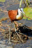 African Jacana (Actophilornis africanus) Stock Photo