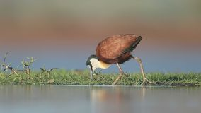 African jacana, Actophilornis africanus stock video