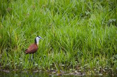 African jacana. The African jacana Actophilornis africanus is a wader in the family Jacanidae, identifiable by long toes and long claws that enable them to walk Royalty Free Stock Photos