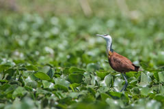 African jacana or Actophilornis africanus Royalty Free Stock Image
