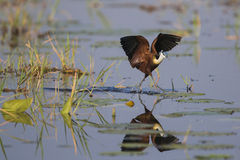 African Jacana (Actophilornis africanus) walking on lily leaves Stock Photography