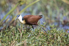 African Jacana (Actophilornis africanus) walking Royalty Free Stock Images
