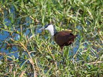 African Jacana or Actophilornis Africanus walking through swampy grass area in Moremi National Park, Botswana, Africa royalty free stock images