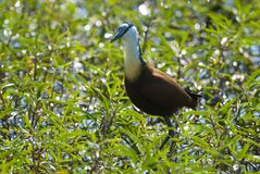 African , Jacana royalty free stock photo