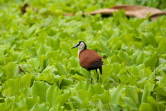 African jacana bird. African jacana tropical bird on water plants on pond, Zurich Zoo Stock Photo