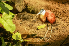 African Jacana. An African Jacana captured at the Schonbrunn Zoo, Vienna Royalty Free Stock Photography