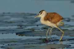 African Jacana chick stock image