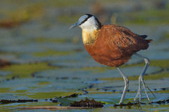 African Jacana chick. African Jacana walking on water lilies in Chobe River Botswana Stock Photos