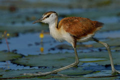 African Jacana chick. Walking on water lilies in Chobe River Botswana Royalty Free Stock Photography