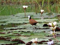 African jacana or Jesus bird walking over water Royalty Free Stock Photo