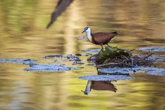 African jacana in Kruger National park, South Africa stock image