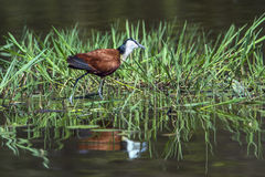 African jacana in Kruger National park, South Africa royalty free stock photos