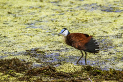 African jacana in Kruger National park, South Africa Royalty Free Stock Images